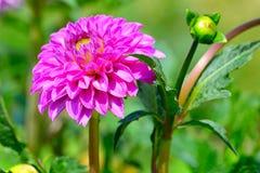 在花圃背景的大丽花  在花的重点 免版税库存照片