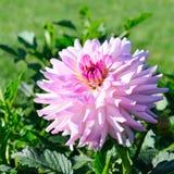 在花圃背景的大丽花  在花的重点 免版税图库摄影