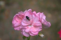 在花天竺葵的飞行 库存图片