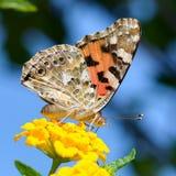 在花宏指令射击的美丽的蝴蝶 免版税库存照片