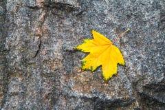 在花岗岩石头的秋季黄色枫叶 库存图片