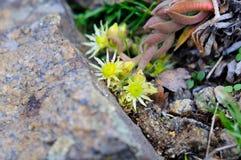 在花岗岩石头附近的黄色野兔圆白菜花 库存照片