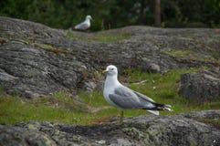 在花岗岩石头的两白色海鸥 免版税库存图片
