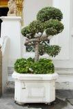 在花岗岩花瓶的美丽的加州桂树 库存图片