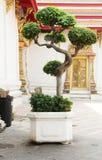 在花岗岩花瓶的美丽的加州桂树 免版税库存照片