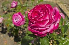 在花床上的一朵被设色的黑暗的桃红色玫瑰 免版税图库摄影