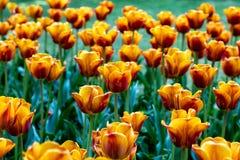 在花床上的橙黄郁金香 免版税库存图片