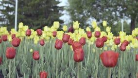 在花床上的红色和黄色郁金香 股票视频