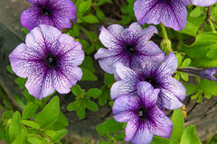 在花床上的紫色喇叭花 关闭看法许多紫色 库存图片