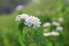 在花床的白花在夏天 库存图片