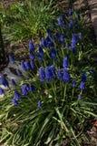 在花床的绿色灌木的明亮的紫色花群 库存照片