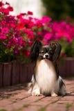 在花床背景的狗与绯红色喇叭花的 库存照片