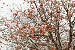 在花揪分支的冻雨  免版税图库摄影