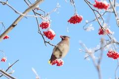 在花揪的太平鸟 库存图片