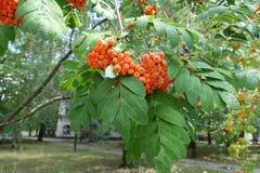 在花揪leafage的橙色分支  免版税库存照片