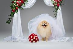 在花曲拱下的美丽的波美丝毛狗新娘 库存照片
