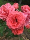 在花束的开花的玫瑰 免版税库存图片