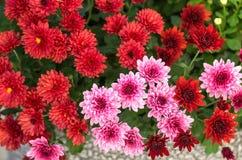 在花束的开花的菊花 库存照片