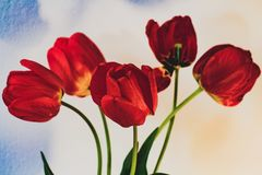 在花束的春天郁金香 免版税库存照片