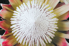 在花束的特写镜头普罗梯亚木 顶视图 免版税库存图片