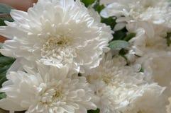 在花束的白色菊花 库存照片