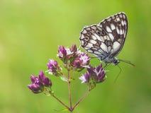 在花栖息的美丽的蝴蝶 免版税库存照片