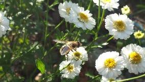 在花栖息的蜂 免版税库存照片
