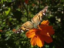 在花栖息的黑脉金斑蝶 库存照片