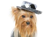 在花梢帽子的美丽的约克夏狗 免版税库存照片