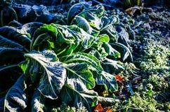 在花椰菜领域的树冰 库存图片