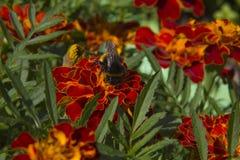 在花法国万寿菊的土蜂 免版税库存图片