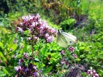 在花照片的白色蝴蝶 库存图片