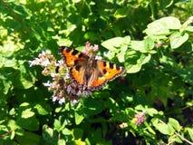 在花照片的红色蝴蝶 库存图片