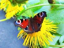 在花照片的Inachis io蝴蝶 库存照片
