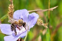 在花特写镜头的蜂,宏指令 免版税库存图片