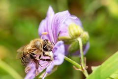 在花特写镜头的蜂,宏指令 图库摄影