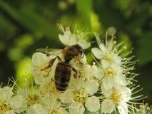 在花特写镜头的一只蜂 免版税图库摄影