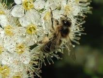 在花特写镜头的一只蜂 免版税库存图片