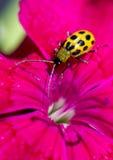 在花瓣的一只被察觉的黄瓜甲虫 库存图片