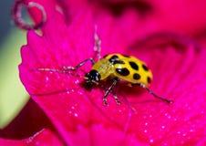 在花瓣的一只被察觉的黄瓜甲虫 免版税库存图片