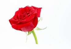 在花瓶保留的一朵美丽的红色玫瑰 免版税库存图片