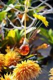 在花瓶的大丁草 免版税库存照片