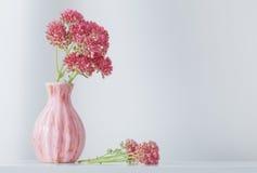 在花瓶的景天属在白色背景 库存图片