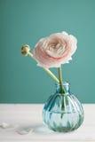 在花瓶的桃红色毛茛属反对绿松石背景,美丽的春天花 免版税图库摄影