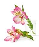在花瓶的桃红色百合花 免版税库存图片
