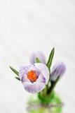 在花瓶的番红花 免版税库存图片