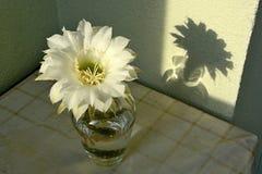 在花瓶的白色仙人掌花 库存照片