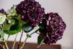 在花瓶的美丽的八仙花属 免版税图库摄影