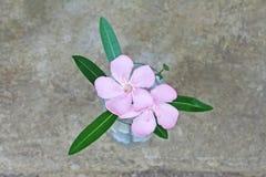 在花瓶,夹竹桃夹竹桃的桃红色花 免版税库存照片