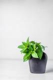 在花瓶& x28的紫花罗勒叶子; 罗勒属basilicum Linn& x29; 库存照片